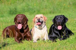 Best BIG Dog Breeds
